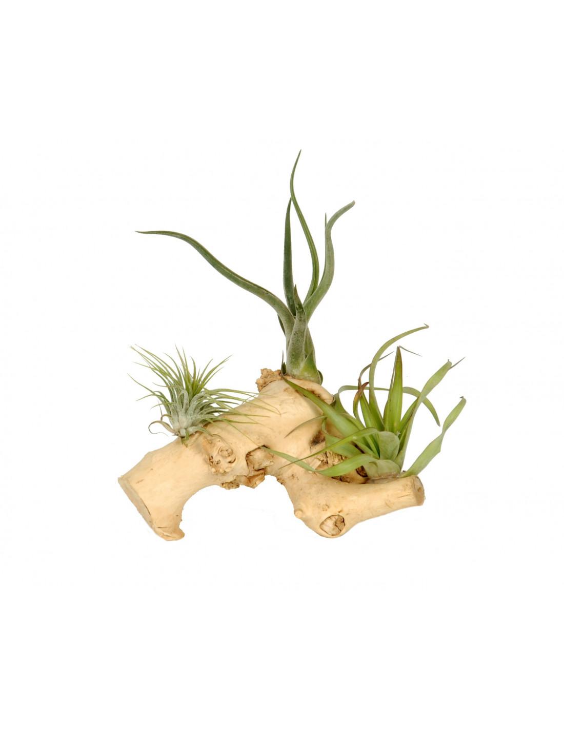 Tak met daarop 3 luchtplantjes   houten accessoires en meer
