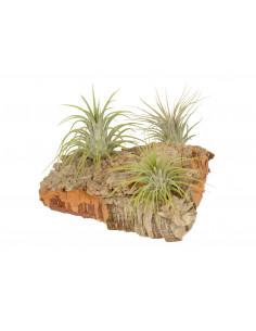 Boombast met luchtplantjes groot