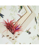 Tillandsia ionantha rood